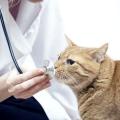 Як лікувати мастит у кішки і не нашкодити?