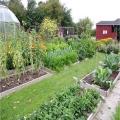 Як правильно посадити селеру в городі?