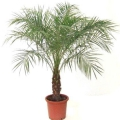 Як посадити насіння пальми: секрети садівників