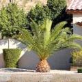 Як виростити пальму на дачі?
