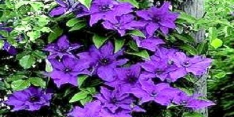 Як посадити квіти в палісаднику: багаторічники