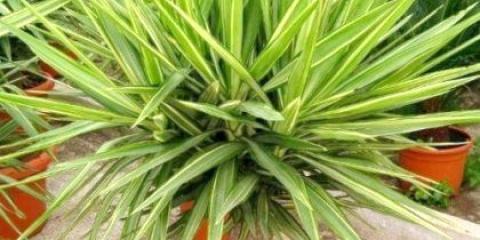 Як підрізати пальму?