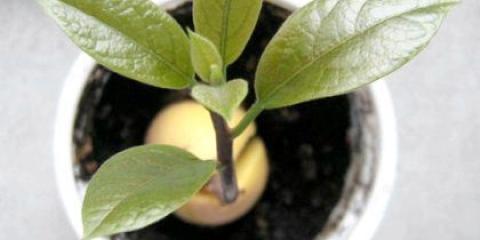 Як посадити кісточку авокадо?