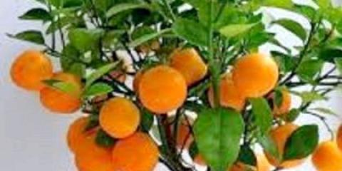 Як посадити мандарин в невеликий горщик?