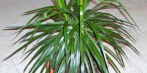 Як правильно пересадити пальму будинку: грунт, добрива