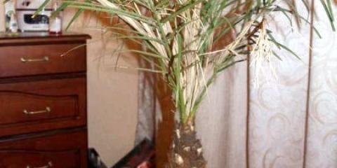 Як росте фінікова пальма?