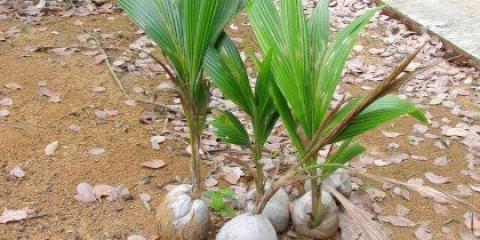 Як розмножуються пальми?