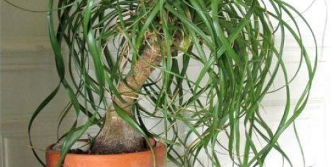 Як реанімувати пальму, якщо вона засохла?