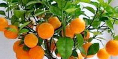 Як доглядати за мандарином в домашніх умовах?