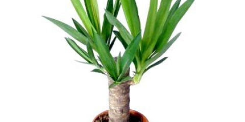 Як доглядати за пальмою юка?