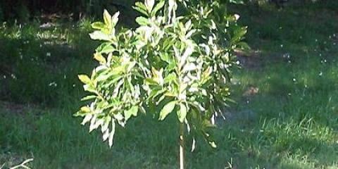 Посадити авокадо правильно