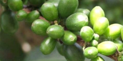 Зелена кава для схуднення: де його знайти в Бобруйську?